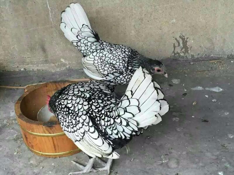 温州观赏鸡多少钱一只