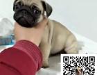 哪里有卖巴哥犬 巴哥多少钱 好养吗