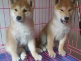 宁波哪里卖纯种柴犬 宁波哪里的柴犬便宜 宁波柴犬多少钱
