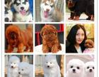 中山本地出售世界各类名犬 支持上门看狗加微信有折扣