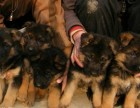 德国牧羊犬现货可是怕选购 多只德牧宠物狗狗