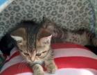 虎斑猫宝宝找新家