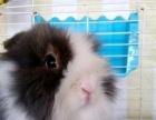 纯种安哥拉长毛盖脸猫猫兔