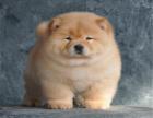 纯种松狮犬 视频看狗可送货上门 签协议保健康