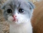 自家猫折耳立耳