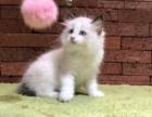 海豹双色 蓝双 布偶幼猫出售