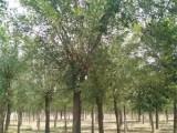渭阳50公分法桐树 专业种植苗木