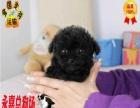 国内韩国茶杯玩具泰迪 CKU指定犬舍 签订协议