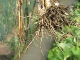 大葱根腐 烂根怎么办 喜百农给出的特效药