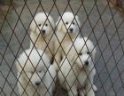中国较大双血统大白熊繁殖基地 可实地考察