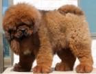 上海藏獒出售3个月幼犬预防已打驱虫已做保养活包健康
