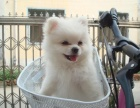 北京出售 博美犬 保纯种 三针疫苗齐全 健康血统有保障