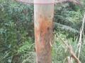 广东肇庆笋围500亩桉树出售,46000棵,7-8年龄