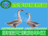 东升禽苗孵化公司出售专业的鹅苗_云南鹅苗