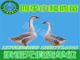 贵州狮头鹅苗价格|优质鹅苗批发价格