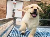武汉大型狗场出售拉布拉多幼犬神犬小七 包健康签协议