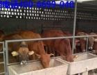改良种公牛肉牛品种