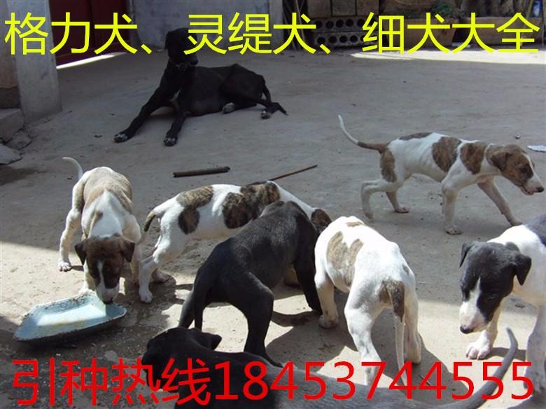 供应卡斯罗 杜高犬 比特犬 一次合作终生朋友