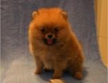 北京犬舍 出售超小体博美纯种茶杯袖珍俊介博美幼犬包纯种包健康