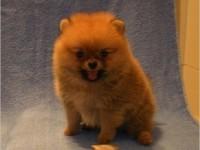 北京犬舍 出售超小體博美純種茶杯袖珍俊介博美幼犬包純種包健康
