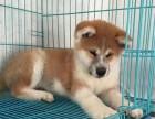 正规犬舍出售精品秋田幼犬包健康签协议送用品