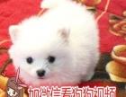 博美犬宠物狗纯种幼犬出售茶杯袖珍英