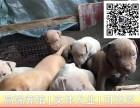 哪里出售比特犬 纯种比特多少钱