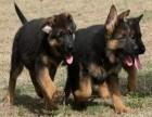 德国牧羊犬,高大威猛服从性强,人类较忠诚的伙伴