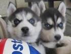 哈士奇狗狗 保证健康纯种 签订协议 疫苗做好了