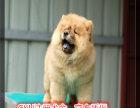 纯种松狮犬 看狗可送货上门 签协议保健康