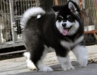 巨型阿拉斯加幼犬,包健康纯种包健康