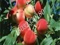 北戴河费石庄洋香水果采摘园随时恭候你保证让你享受有机蔬菜水果