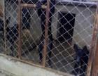 哪里出售2~4个月的纯血黑狼幼犬