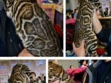 孟加拉豹猫,常年接受预定出售幼猫