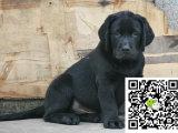 纯种(拉布拉多)幼犬出售 导盲犬包纯种健康可送到家