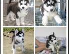 高品质 哈士奇幼犬 出售西伯利亚正中雪橇犬