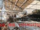定西肉鸽养殖场,出售白羽王,银王,石歧鸽,自别鸽,等肉鸽蛋。