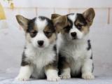鄭州出售 純種柯基幼犬 狗狗出售 可簽協議健康保障