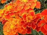 南寧景龍生態大量虞美人等花卉種子批發