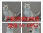 渐层借配 幼猫出售 巨眼脸甜 蓝猫 虎斑也有哦