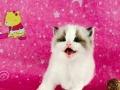 布偶猫海豹双出售