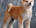 汕头哪里有卖秋田 金平哪里有卖秋田幼犬