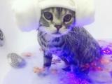 北京上門貓咪洗澡剃毛藥浴賽季洗護寵物上門服務