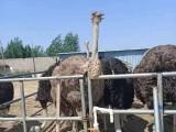 黄石非洲鸵苗养殖 出售各种鸵鸟苗