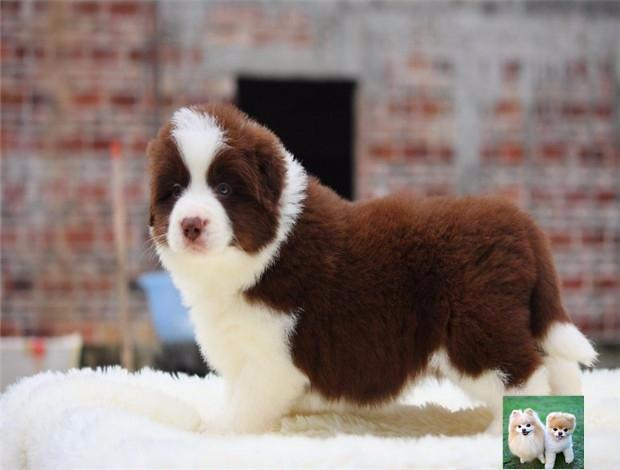 纯种边境牧羊犬 智商第一品相佳健康保证一血统保证