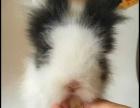 兔子哥宠物兔养殖