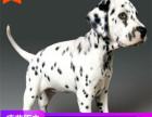 哪里有斑点狗出售多少钱,斑点狗的照片