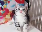 正规猫舍出售蓝猫蓝白 渐层 美短幼猫专业品质可送货