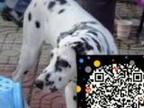 斑点狗出售了 斑点狗多少钱 斑点狗图片