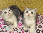 西安哪里有短毛猫卖 西安短毛猫价格 西安哪里卖健康的短毛猫
